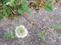 シロツメグサ (2)