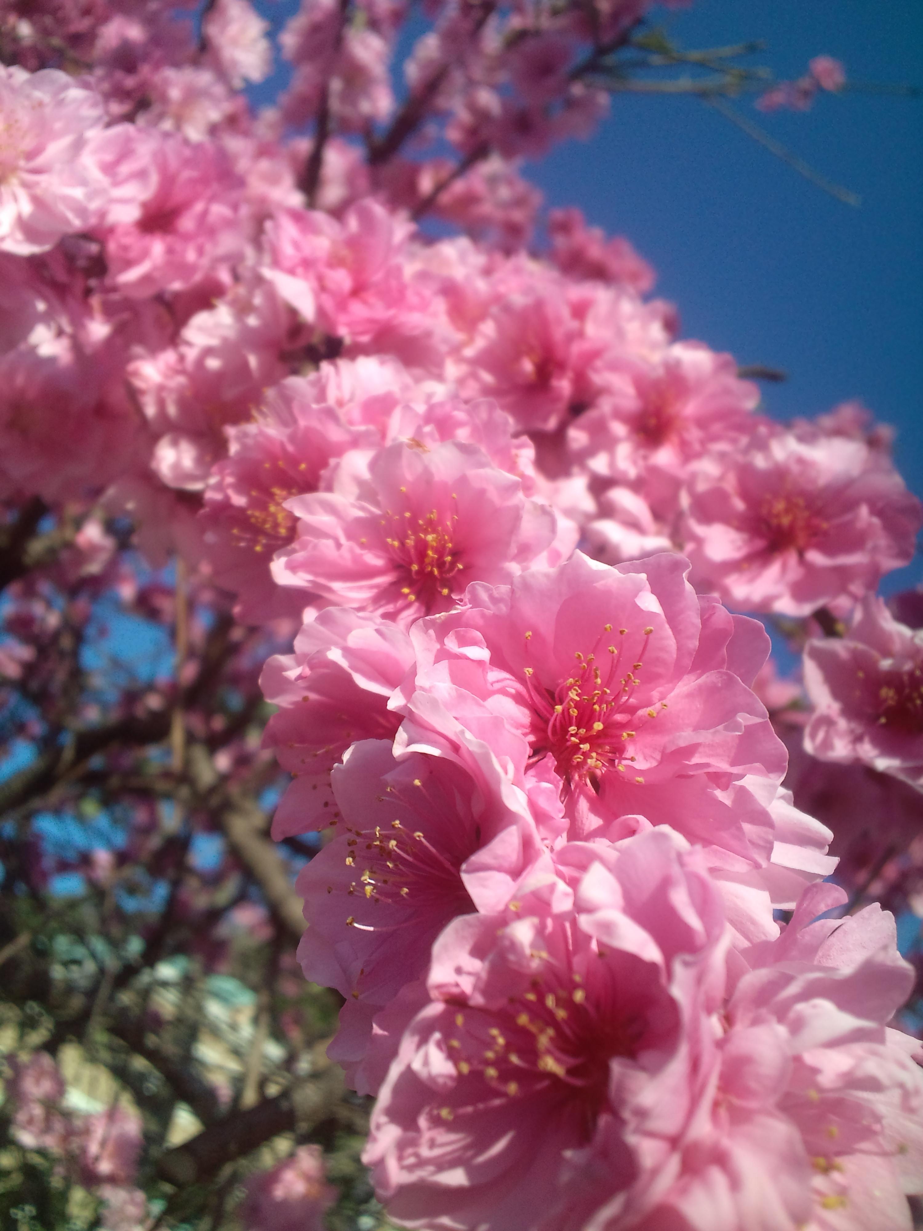 満開のしだれ花桃