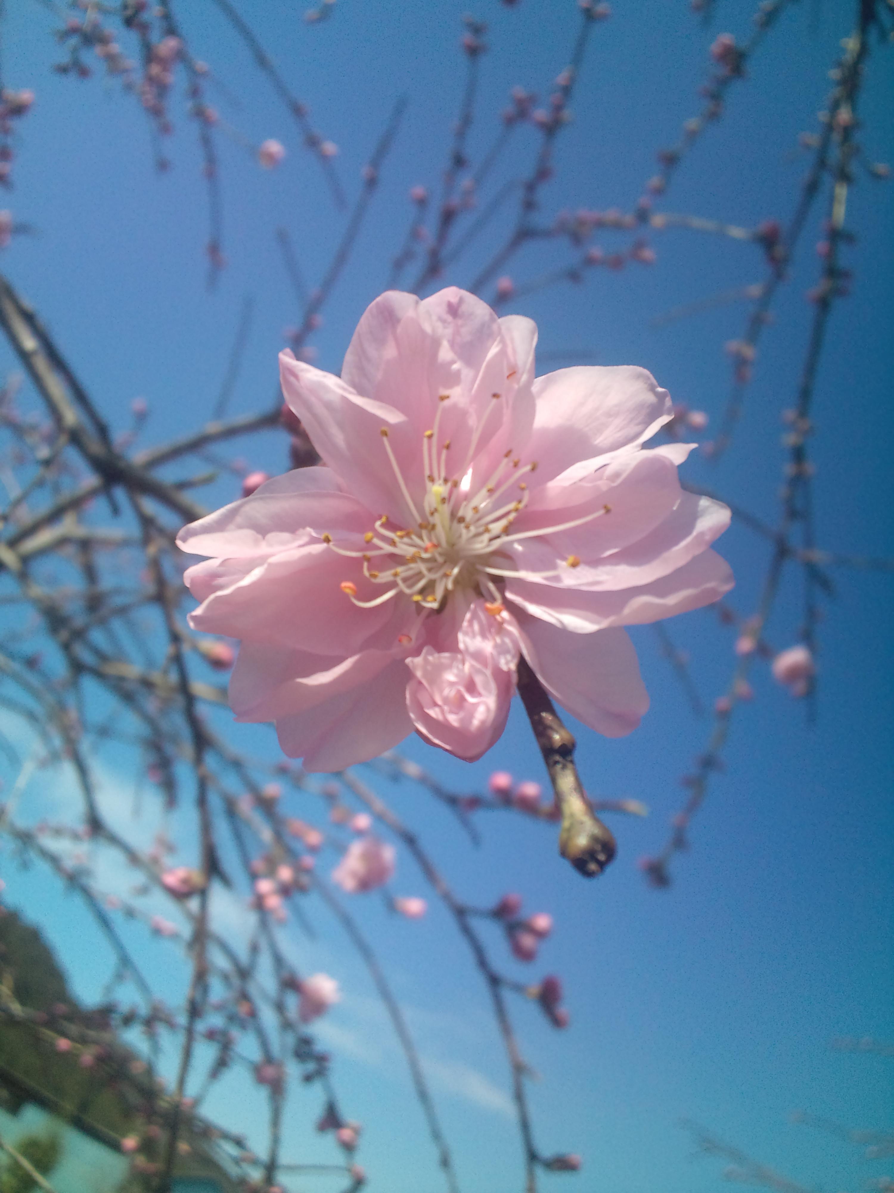 しだれ花桃咲き出しました。