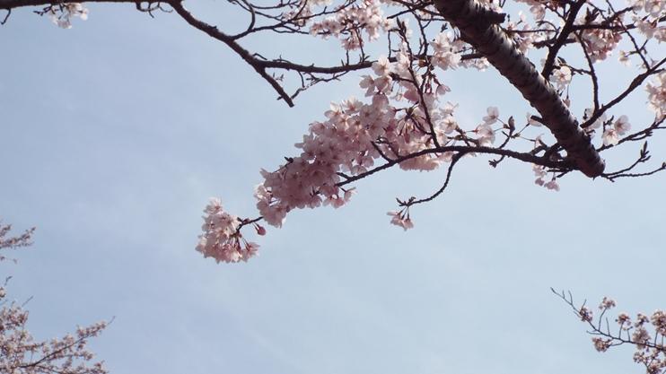 桜20150107