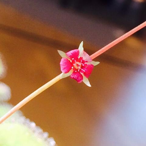 プロリフェラの花