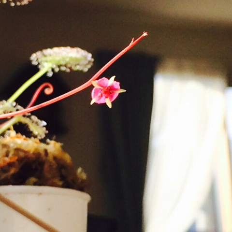 プロリフェラの花2