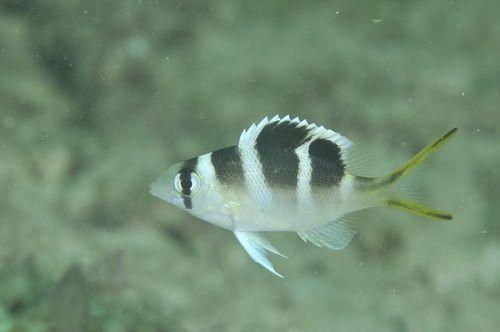 ヨコシマクロダイ幼魚