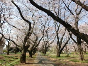全生園桜_convert_20150404222916