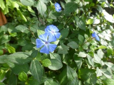 セラトシグマ フォレストブルー 2015 7・2