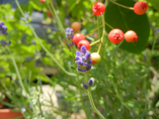 lavenderEN150523.jpg