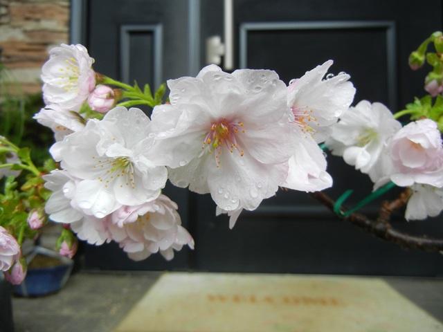 sakura_asahiyama150408a.jpg