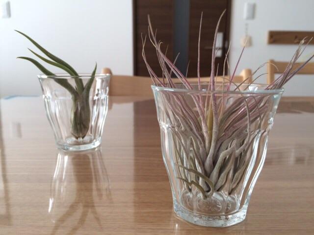 エアープランツおまかせ3種セット 薫る花 イオナンタ ハリシー カプトメデューサ