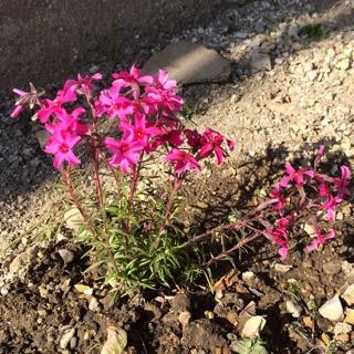 芝桜 ピンク 濃いピンク