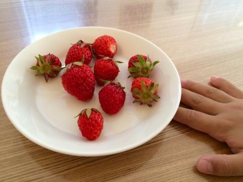 家庭菜園 苺 いちご イチゴ プランター 収穫 食育