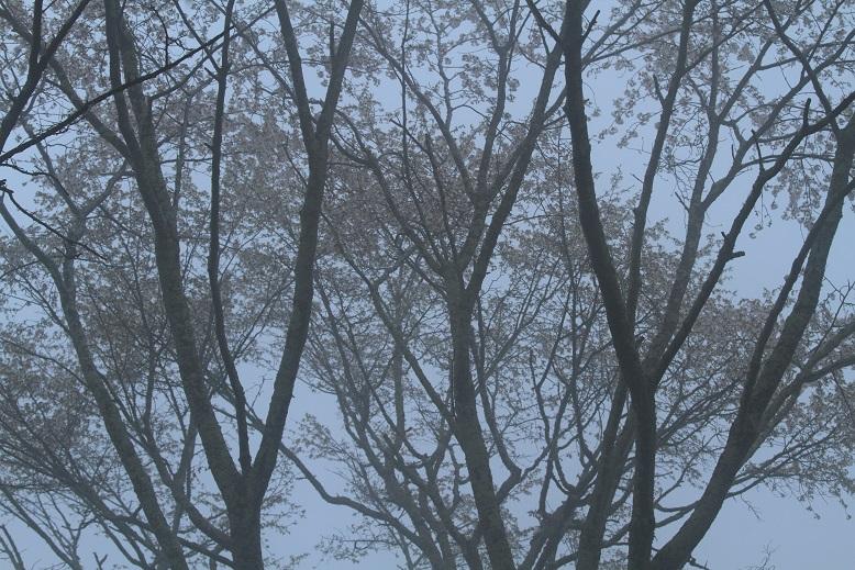 吉野桜、1