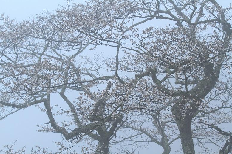 吉野桜、3