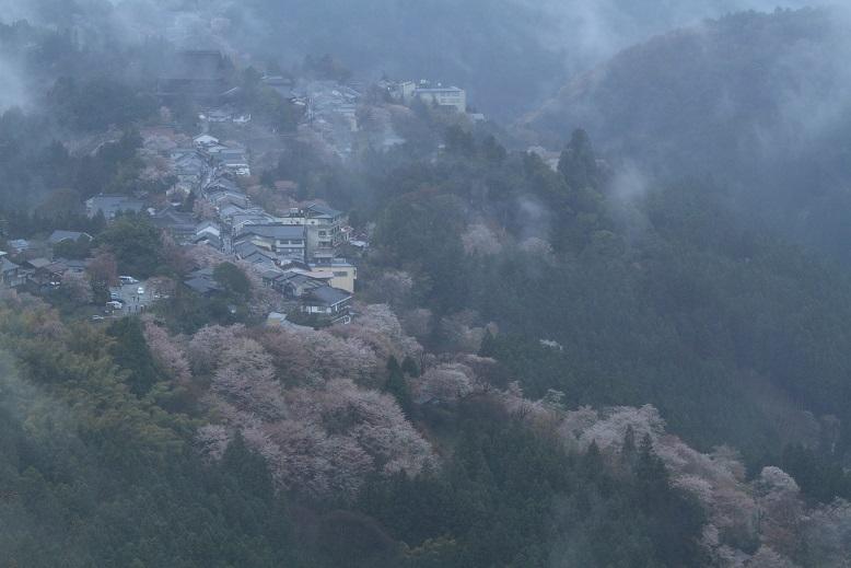 吉野桜、4