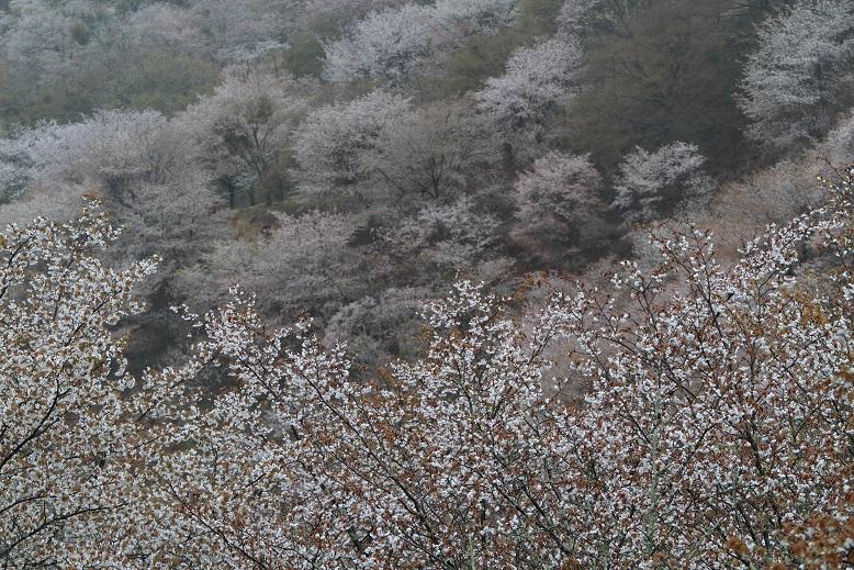 吉野桜、6