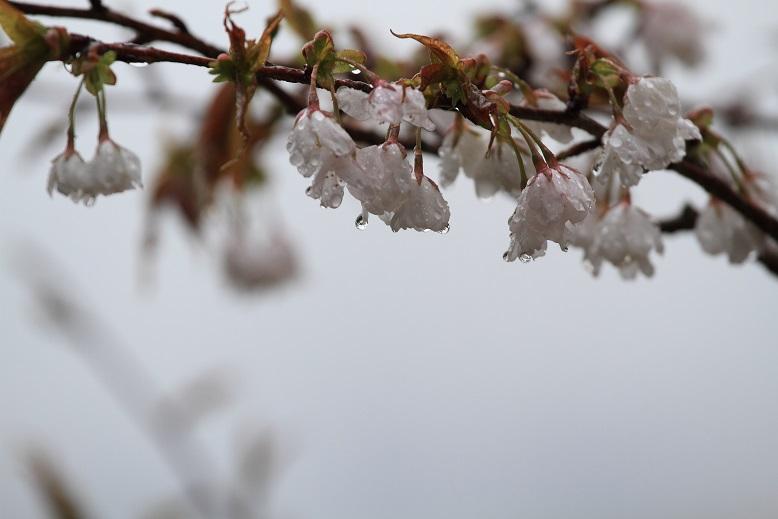 吉野桜、8