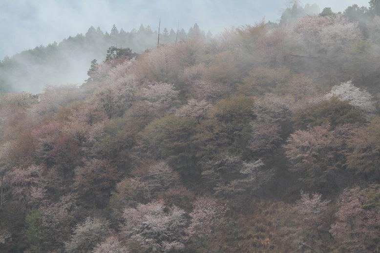 吉野桜、9