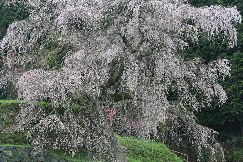 又兵衛桜、1