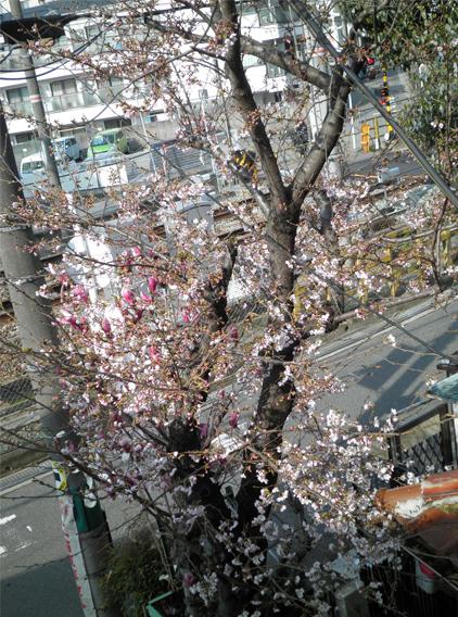2015 桜3分咲き