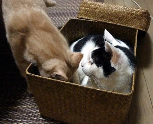 先に猫が居るのに籠に押し入るきなこ
