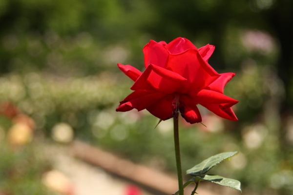 150517-rose-12.jpg
