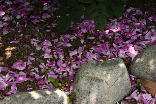 150517-rose-17.jpg