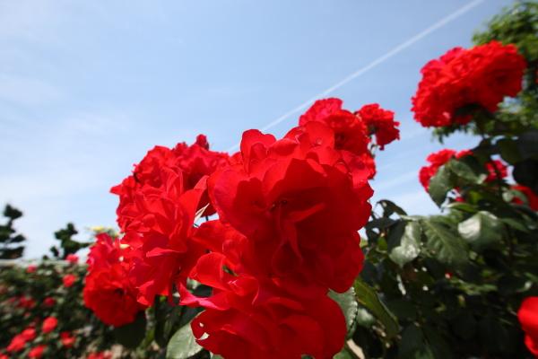 150517-rose-18.jpg