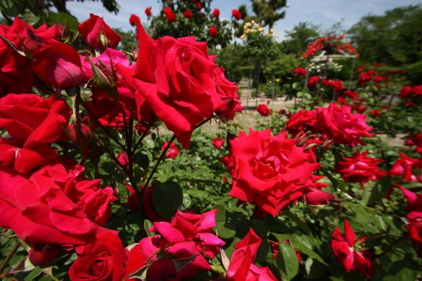 150517-rose-19.jpg
