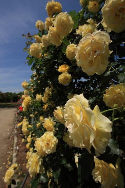 150517-rose-20.jpg
