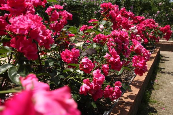 150517-rose-21.jpg