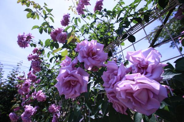 150517-rose-22.jpg