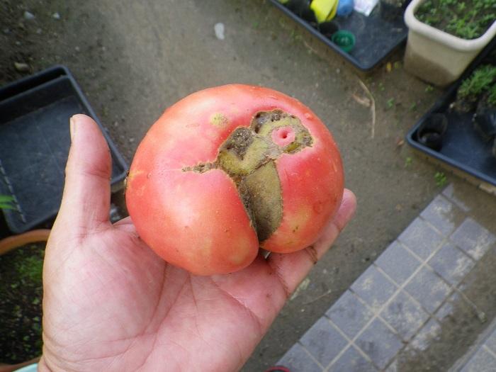 収穫大玉トマト15_07_02