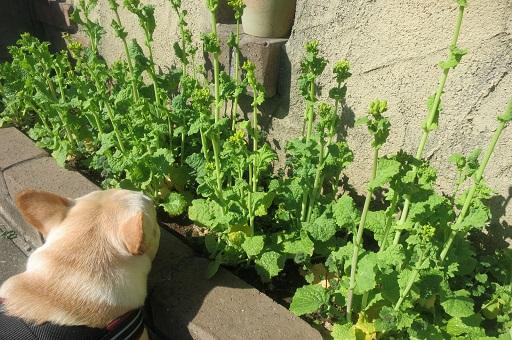 3-28菜の花蕾