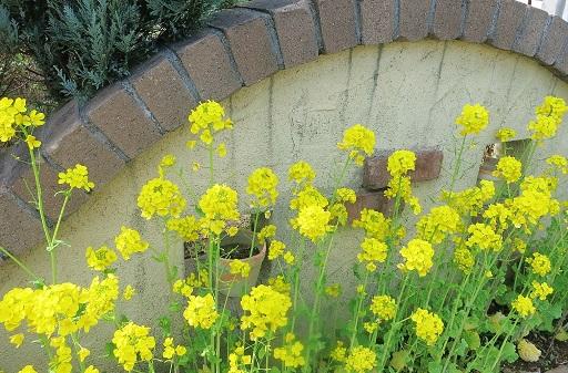 3-28菜の花満開