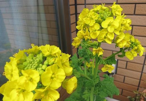 3-28菜の花アップ