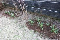 3-28ネモ植える8