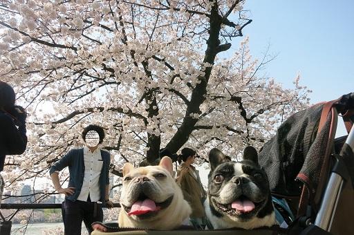 4-5ふるうた桜バック