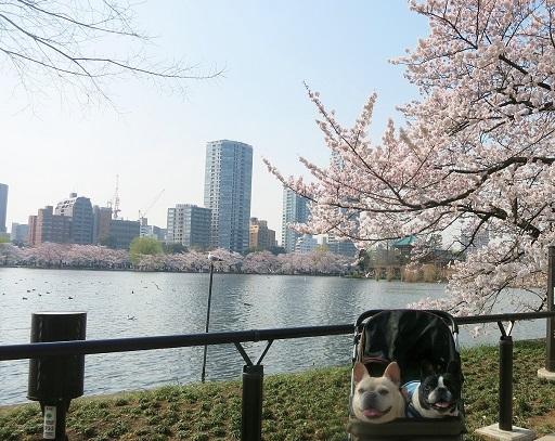 4-5ふるうた桜2