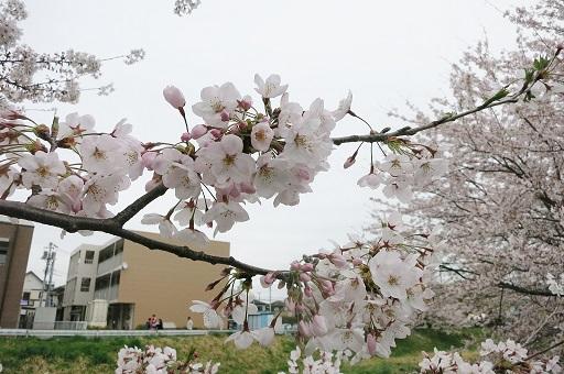 4-5矢那川桜