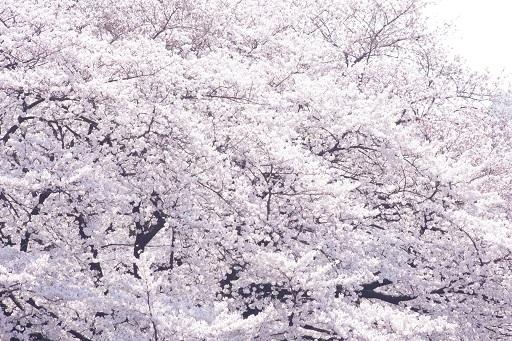 4-5パパ桜ベスト③