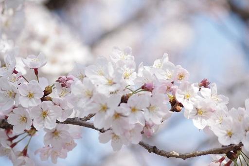 4-5パパ桜ベスト①