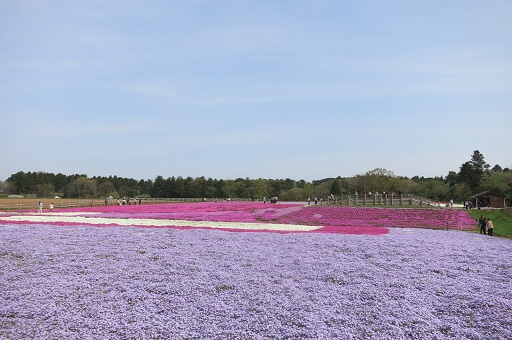 4-20芝桜全体②