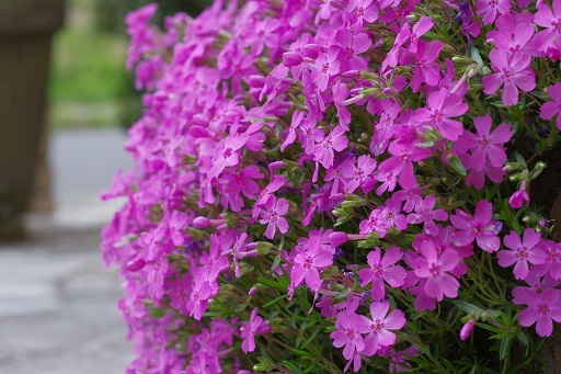 4-20我が家の芝桜①