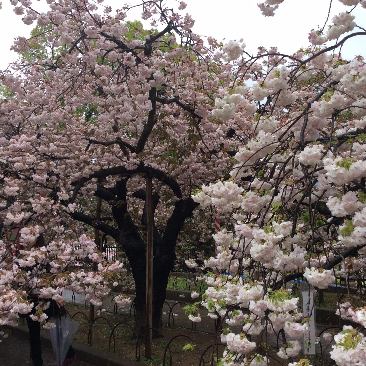 造幣局桜②