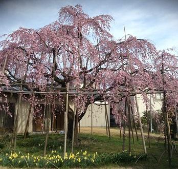 見事な桜💛
