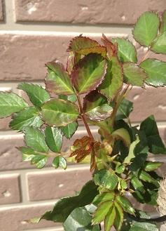 薔薇の新芽。かわいい♡