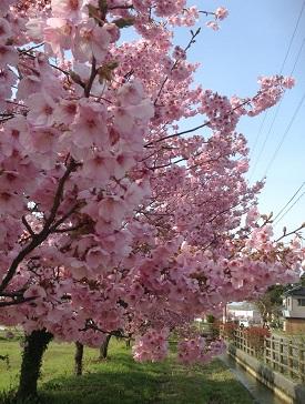 桜 満開♡