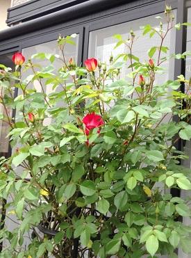 赤いバラ、かわいいなぁ
