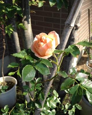 オレンジの薔薇、咲きました^^