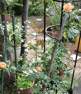 頑張って咲いてくれた、オレンジのミニ薔薇