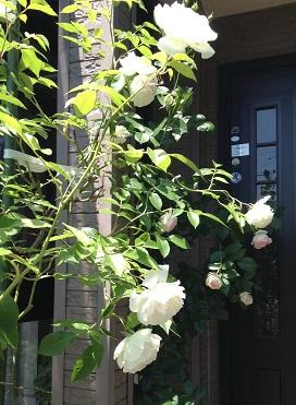白い薔薇、すっごく可憐なんです💛